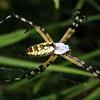 Orbweaver Garden Spider, Argiope aurantia
