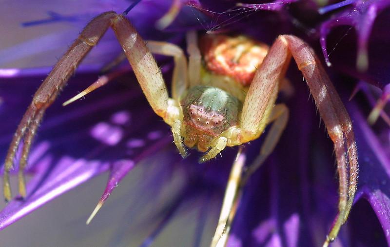 Crab Spider, Thomisidae