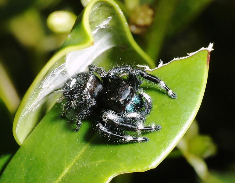 Bold Jumper, Jumping Spider,  Phidippus  audax