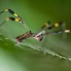 Golden silk orbweaver, Nephila clavipes, female