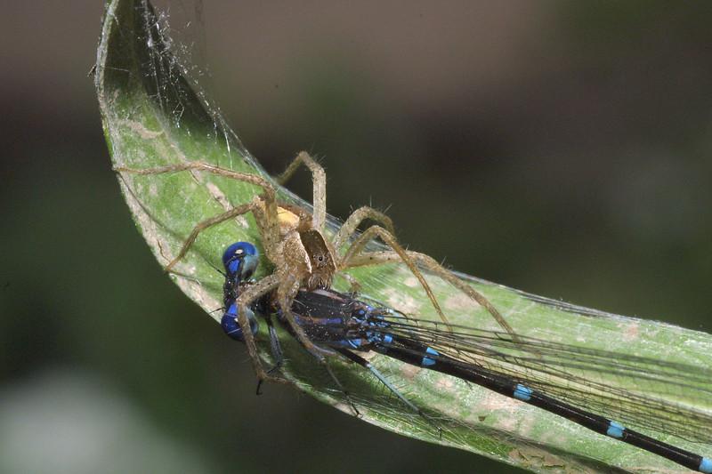 Nursery Web Spider with Damselfly Prey, Pisaurina mira