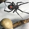 Black Widow Spider, Lactrodectus mactans