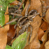 Wolf spider, Lycosa sp.