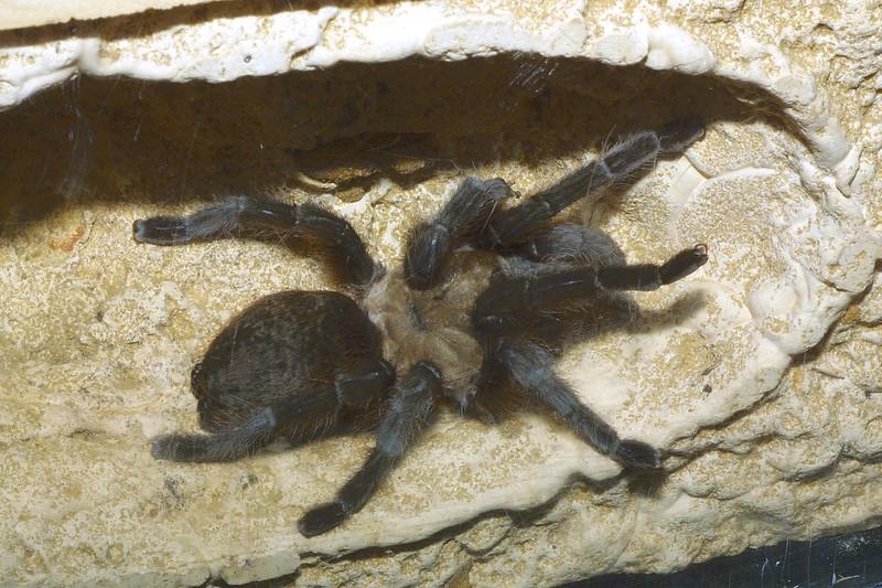 Tarantula, Aphonopelma sp.