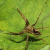Nursery Web Spider, Pisaurina mira