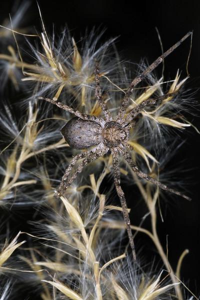 Running Crab Spider, Philodromus sp.