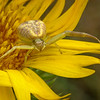 Saw-leaf daisy, Grindelia papposa, with Northern crab spider, likely Misumenops asperatus