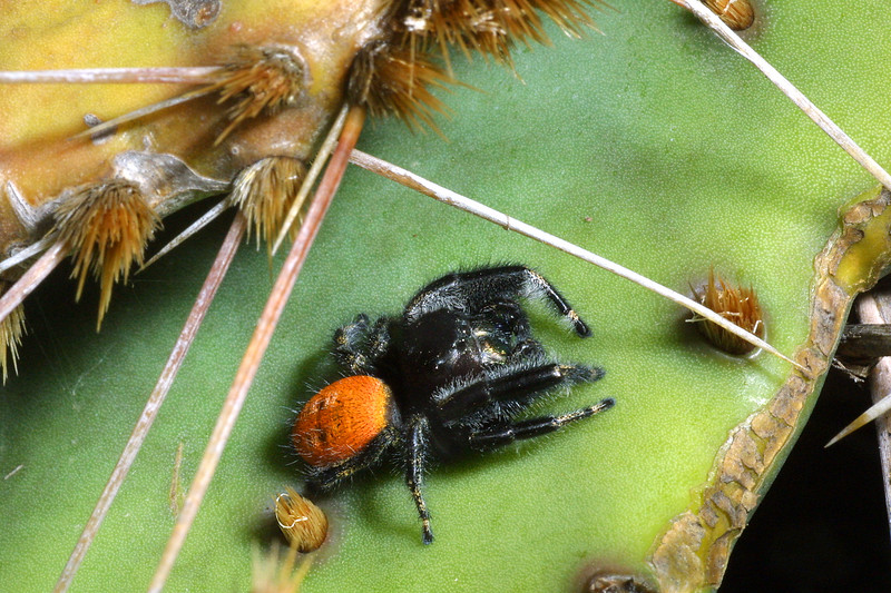 Jumping Spider, Phidippus sp.