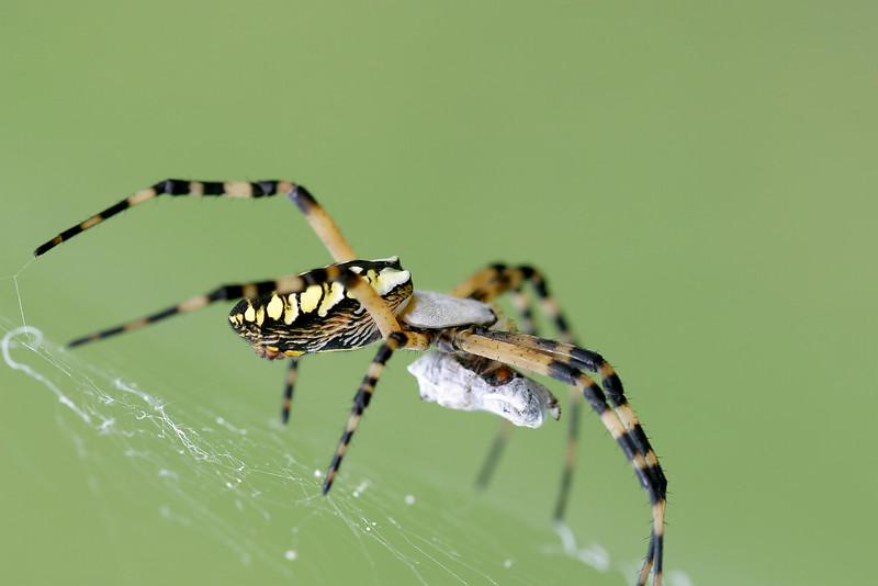 Orb Weaver, Garden Spider, Argiope sp.