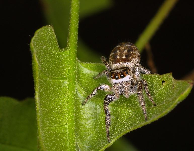 Jumping Spider, Bronze Jumper,  Eris militaris