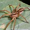 Wolf Spider, Rabidosa rabida