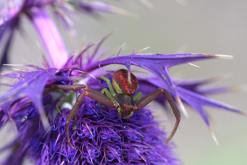 Crab Spider on Eryngo,   Misumenoides formosipes, male, on Eryngium leavenworthii