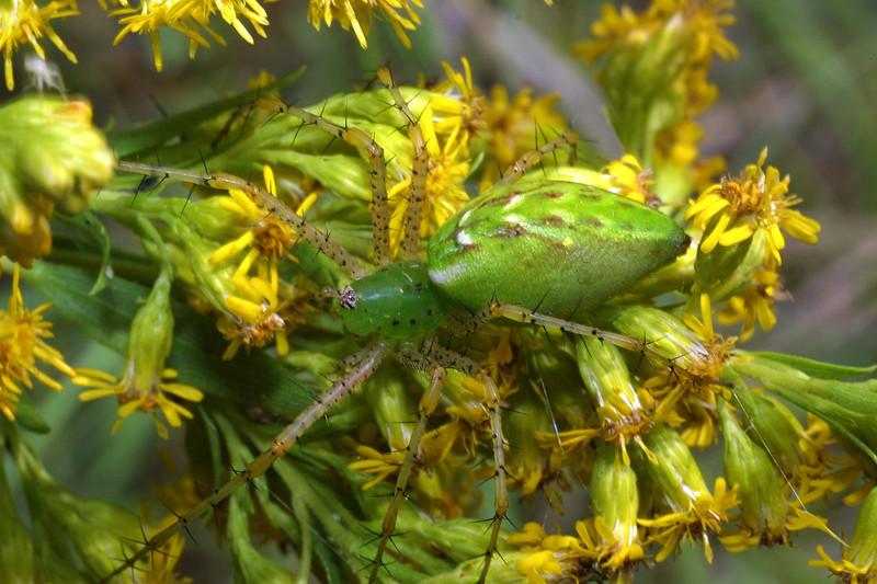 Green Lynx Spider, Peucetia viridans