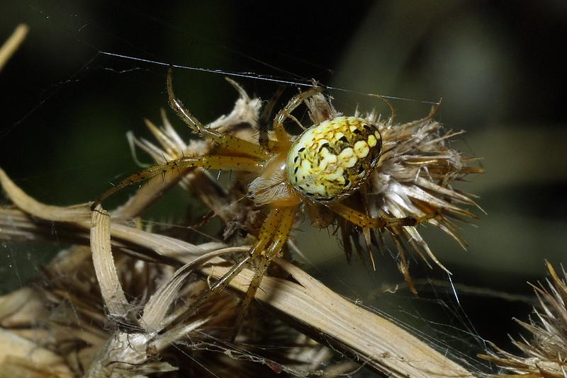Orbweaver, Aculepeira packardi