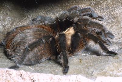 Texas Tarantula, Aphonopelma sp.