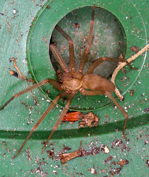 Recluse Spider, Violin Spider, Loxosceles sp.