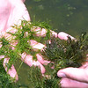 Chara (Stonewort) and Ceratophyllum pondweedsChara sp., Ceratophyllum sp.