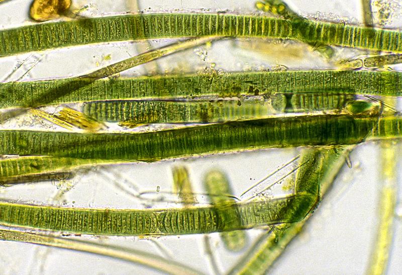 BLuegreen alga, Oscillatoria sp.