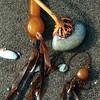 Bull Kelp, Bullwhip Kelp, Nereocyctis luetkeana