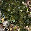 Blue Green algae, likely Nostoc sp.