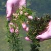 Chara (Stonewort) and Ceratophyllum pondweeds, Chara sp., Ceratophyllum sp.