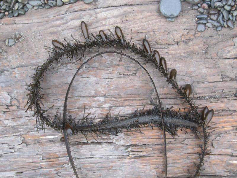 Feather Boa, Egregia menziesii