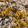Little Rockweed, Pelvetiopsis limitata