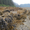 Alaska tidal zone of Fucus sp. Mytilus and barnacles