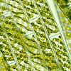 Spirogyra sp.