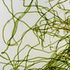 Bluegreen alga, Scytonema sp