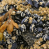 Fucus sp. with Mytilus sp.  and barnacles