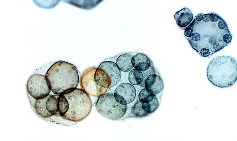 Volvox sp., daughter colonies