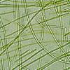 Bluegreen alga Oscillatoria sp.