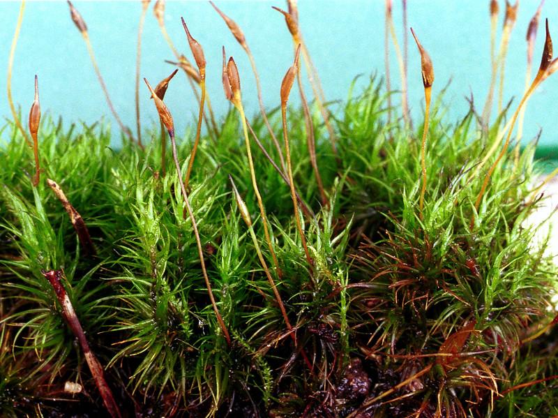 Moss, Polyrichum sp.