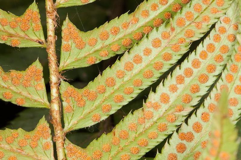 Western sword-fern, Polystichum munitum