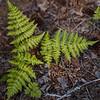 Oak fern, Gymnocarpium dryopteris
