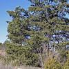 Pinion Pine, Pinus cembroides