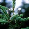 Subalpine fir, Abies (likely) lasiocarpa