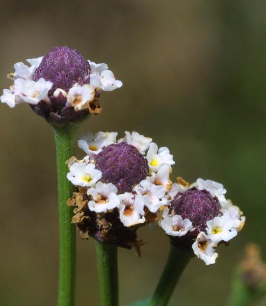 Frog Fruit, Phyla incisa