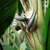 Travelers Palm, Strelitzia micolai