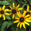 Brown-Eyed Susan, Rudbeckia hirta