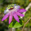 Passion flower, Passiflora