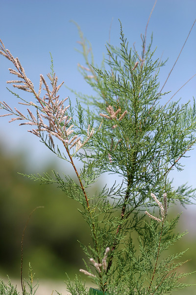 Salt cedar, Tamarix sp.