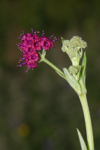Scarlet Spiderling, Boerhavia diffusa