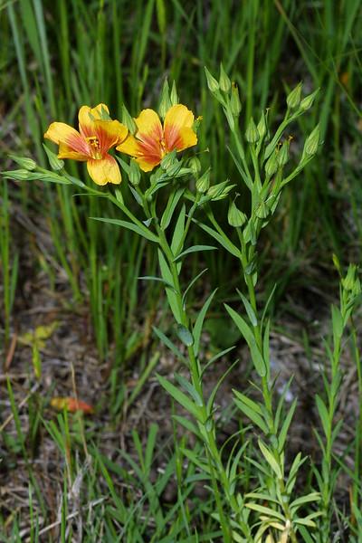 Golden Flax, Linum rigidum