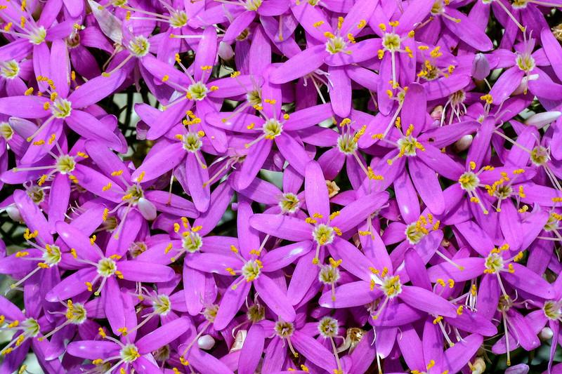 Mountain Pink, Centaurium beyrichii