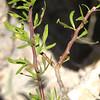 Leatherstem, Bloodroot, Jatropha dioica