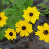 Tickseed, Coreopsis sp.