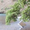 Black Mangrove, Avicennia germinans