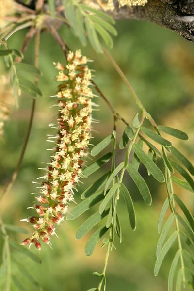 Honey mesquite, Prosopis juliflora
